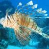 Nel Mediterraneo arrivano i pesci leone