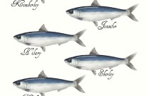 Les belles histoires de Mme Gimbard – Les sardines de l'Atlantique