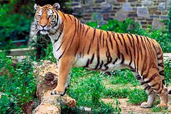 250px-Panthera_tigris_tigris