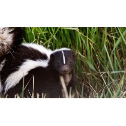 Small Crop Of Get Rid Of Skunks