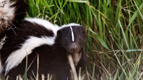 Medium Of Get Rid Of Skunks