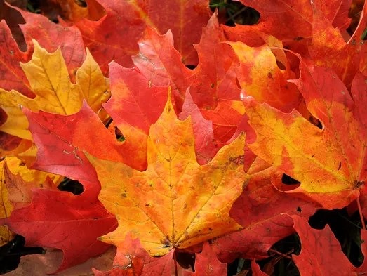 Falling Maple Leaves Wallpaper Fall Foliage 2017 Here S When The Leaves Will Be At Peak