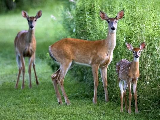 Fall Deer Wallpaper Deer Season Too Many Too Few Depends Whom You Ask