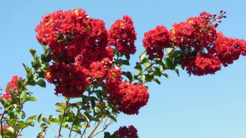 Medium Of Tonto Crape Myrtle