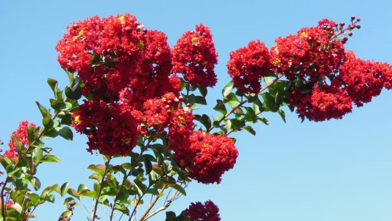 Large Of Tonto Crape Myrtle
