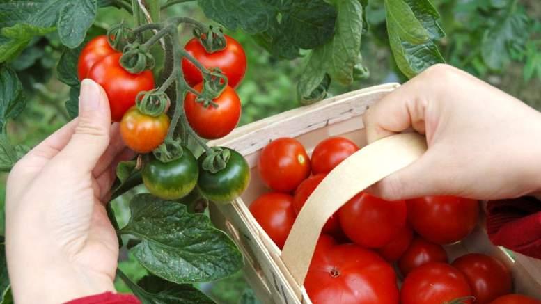 Tomaten selbst geerntet