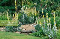 GAP Gardens - Gravel planted with Verbascum olympicum and ...