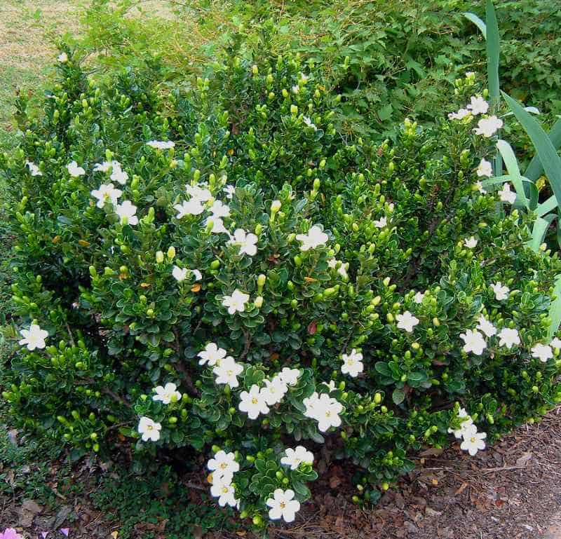 everblooming gardenia jasminoides veitchii. Black Bedroom Furniture Sets. Home Design Ideas