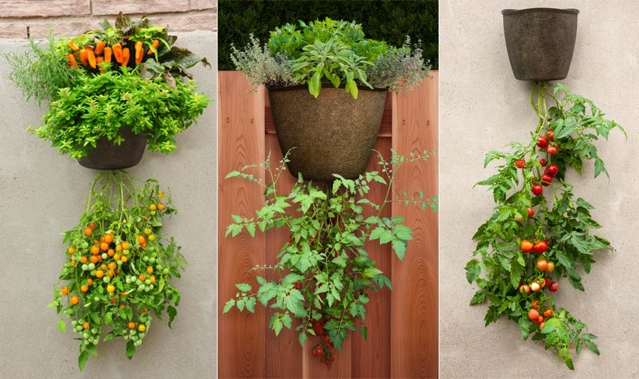 Growing Tomatoes In Pots And Containers Garden365