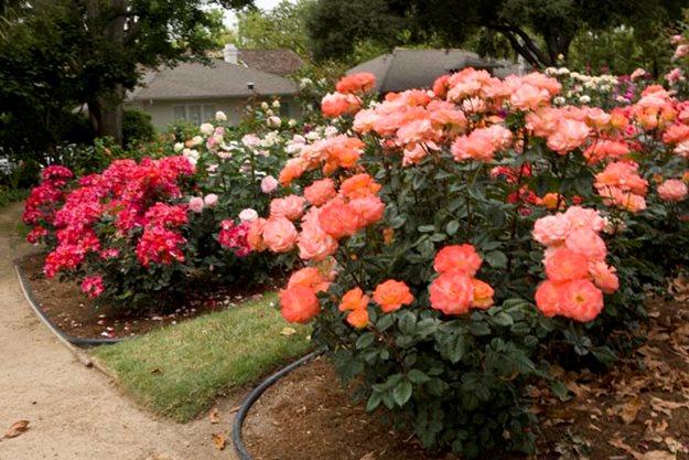 Caring for Roses A Beginner\u0027s Rose Growing Guide Garden Design