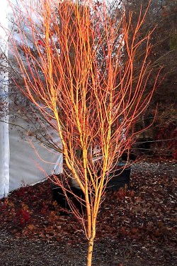Small Of Coral Bark Japanese Maple
