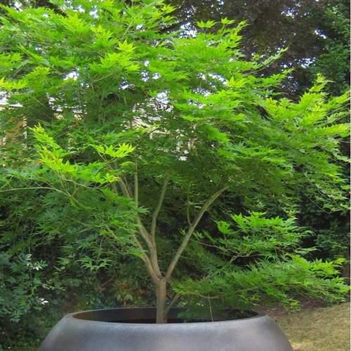 Medium Crop Of Green Japanese Maple