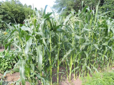 How To Grow Sweet Corn, Popcorn, Indian Corn, Growing Seeds For