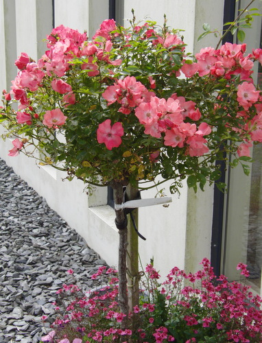 Growing Roses In Containers - Rose Bush Care For Beautiful Summer