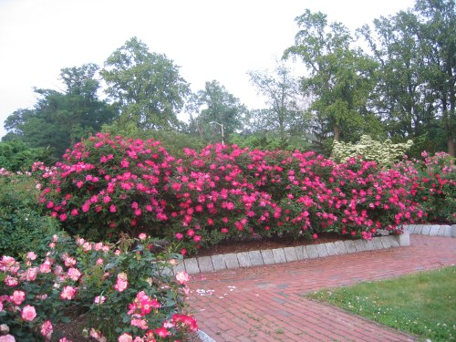 Medium Of When To Prune Knockout Roses
