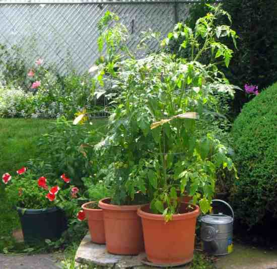 Growing tomatoes in pots best varieties - Best tomato plants for container gardening ...