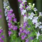 All About Delphinium