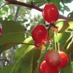 Cherry: Berry or Fruit?