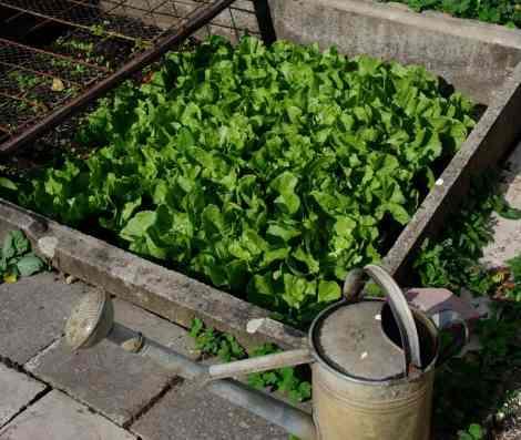 lettuce garden