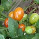 Guide to Growing Grape Tomatoes