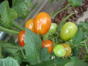 Growing Grape Tomatoes