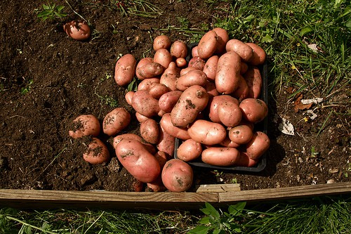 Root Crops for the Home Garden