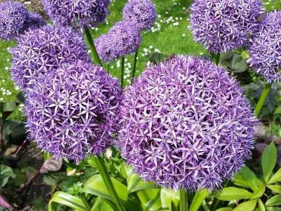 How to Grow Fall Flowering Bulbs