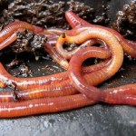 Where To Find Composting Worms