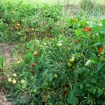 Growing Tomatoes: Bush or Vine