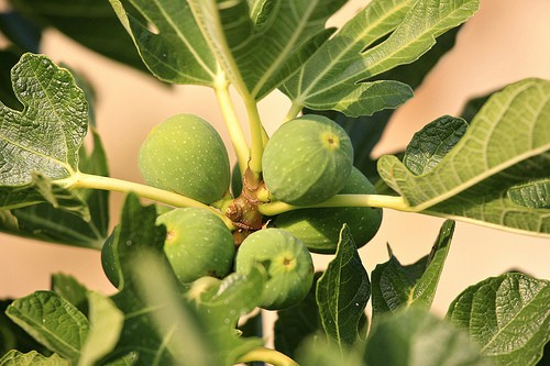 growing figs