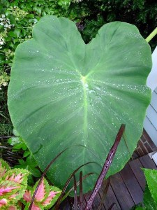 elephant ears poisonous