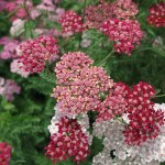 Growing Achillea (Yarrow)