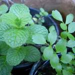 Planting or Growing Herbs From Seeds