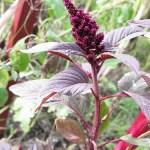 How to Grow Amaranthus Cruentus (Red Amaranth)