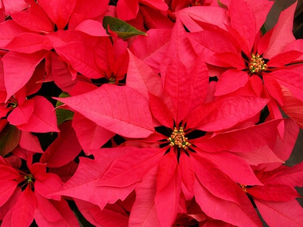 How To Grow And Care For Poinsettia Flowers