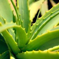 Growing Aloe Vera Successfully: A Comprehensive Guide