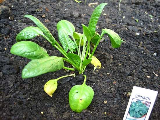 Spinach can grow in containers