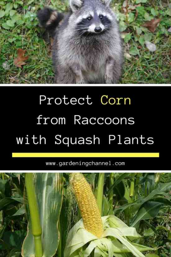 Protect corn from raccoons even learn a trick with squash plants How to keep raccoons out of garden