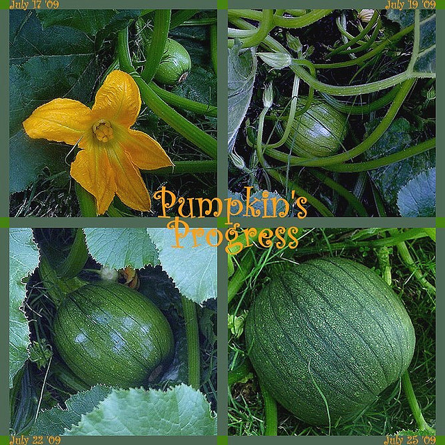 The Life Cycle of a Pumpkin - When to Harvest Weed It  Reap!