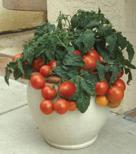 Growing Tomatoes Patio Tomatoes Growing Outdoor Tomatoes
