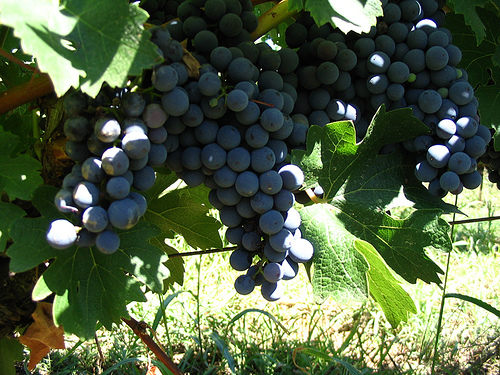 Guide To Growing Grapes - How To Grow Grapes