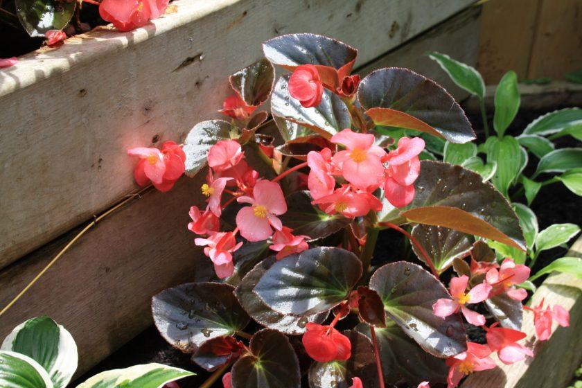 Megawatt Begonia Pink Bronze Leaf