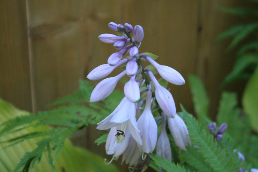 Hosta 'Sun Power' Flower