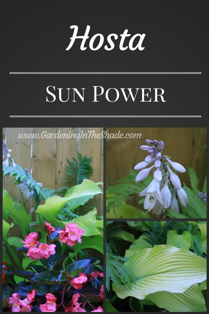Hosta Sun Power
