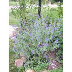 Small Crop Of Blue Mist Spirea