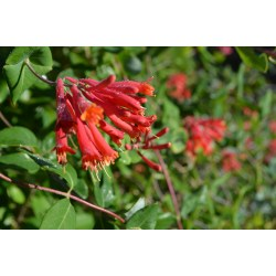 Small Crop Of Major Wheeler Honeysuckle