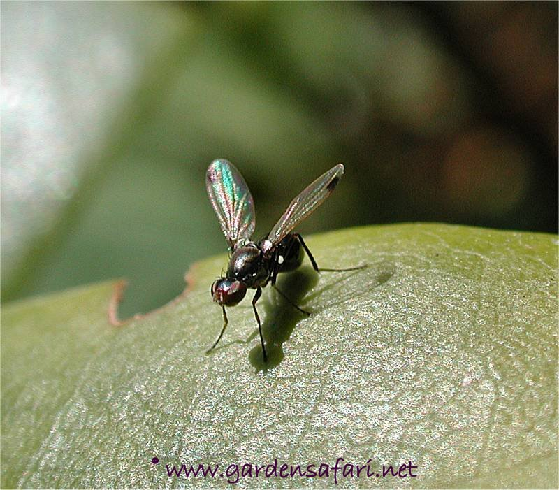 Gardensafari Miscellaneous Flies (with many detailed pictures)
