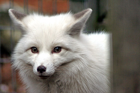 Babies Wallpaper Cute Pictures Of Silver Fox At Garlyn Zoo In Michigan S Upper