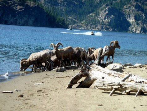 Bighorn on the shores of Lake Roosevelt. Photo by Beth Goetz