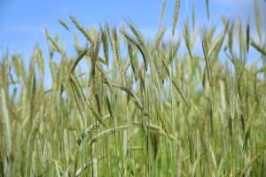 Rye fields.